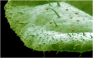 Mint leaf under a scanning electron microscope.