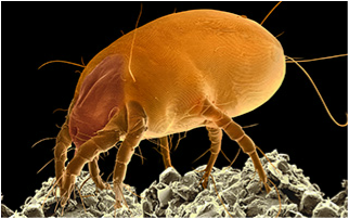 Dust mite under a scanning electron microscope.
